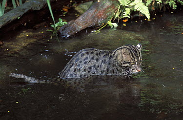 Fishing Cat (Prionailurus viverrinus) in water, native to Asia  -  Roland Seitre