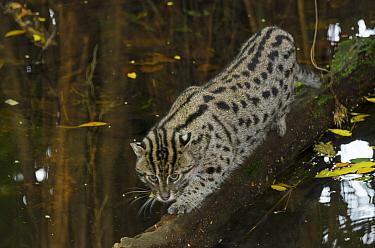 Fishing Cat (Prionailurus viverrinus), Singapore Zoo, Singapore  -  Roland Seitre