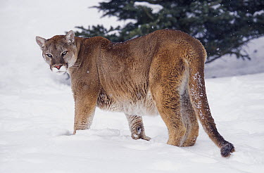 Mountain Lion (Puma concolor) in snow, native to North and South America  -  Roland Seitre