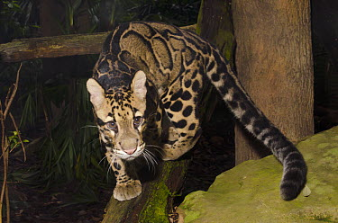 Clouded Leopard (Neofelis nebulosa) walking on branch, native to Asia  -  Roland Seitre