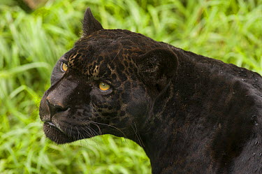 Jaguar (Panthera onca) melanistic individual, also called a black panther, native to Central and South America  -  Roland Seitre