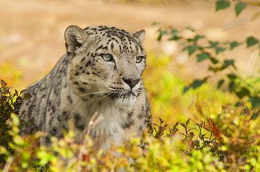 Snow Leopard (Uncia uncia), native to Asia  -  Roland Seitre