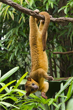 Kinkajou (Potos flavus) hanging from branch, native to South America  -  Roland Seitre