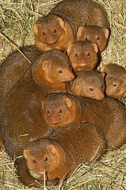 Dwarf Mongoose (Helogale parvula) group huddling together, native to Africa  -  Roland Seitre