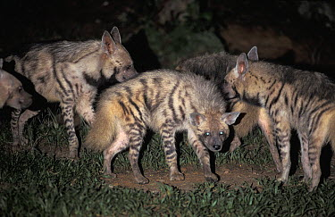 Striped Hyena (Hyaena hyaena) group at night, native to Africa and Asia  -  Roland Seitre