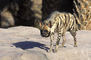 Striped Hyena (Hyaena hyaena), native to Africa and Asia  -  Roland Seitre
