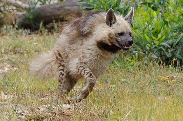 Striped Hyena (Hyaena hyaena) running, native to Africa and Asia  -  Roland Seitre