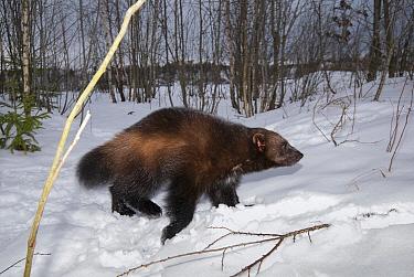 Wolverine (Gulo gulo) in snow, native to North America, Europe, and Asia  -  Roland Seitre