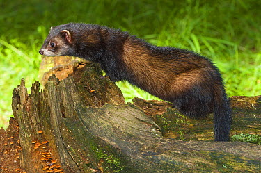 European Polecat (Mustela putorius), native to Europe and Asia  -  Roland Seitre