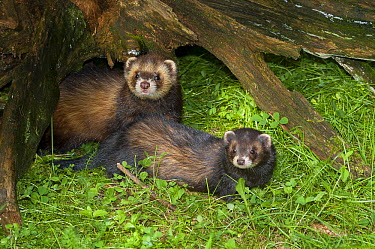 European Polecat (Mustela putorius) pair, native to Europe and Asia  -  Roland Seitre