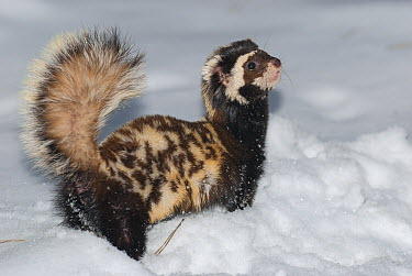 Marbled Polecat (Vormela peregusna) in defensive posture in snow, native to Europe and Asia  -  Roland Seitre