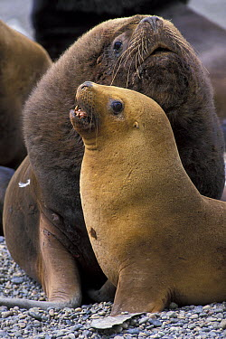 South American Sea Lion (Otaria flavescens) female and male  -  Roland Seitre