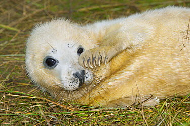 Grey Seal (Halichoerus grypus) pup scratching itself, North Atlantic  -  Roland Seitre
