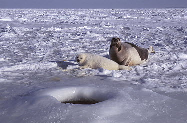 Harp Seal (Phoca groenlandicus) mother and pup on ice near breathing and escape hole, Magdalen Islands, Canada  -  Roland Seitre