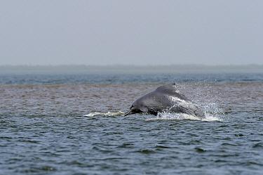 Atlantic Hump-backed Dolphin (Sousa teuszii) porpoising, Senegal  -  Roland Seitre