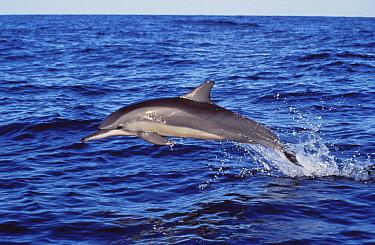 Spinner Dolphin (Stenella longirostris) porpoising  -  Roland Seitre