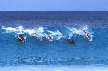 Indo-pacific Bottlenose Dolphin (Tursiops aduncus) pod wave riding, South Australia, Australia  -  Roland Seitre