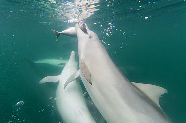 Indo-pacific Bottlenose Dolphin (Tursiops aduncus) pod hunting, South Australia, Australia  -  Roland Seitre