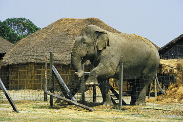 Asian Elephant (Elephas maximus), domesticated bull in musth destroying fence to get to females, Nepal  -  Roland Seitre