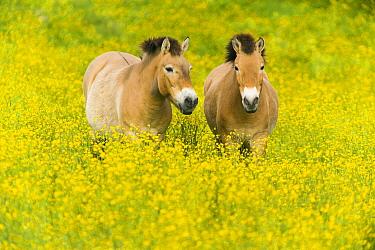 Przewalski's Horse (Equus ferus przewalskii) pair in field, native to central Asia  -  Roland Seitre