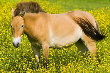 Przewalski's Horse (Equus ferus przewalskii) in field, native to central Asia  -  Roland Seitre