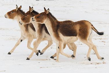 Kiang (Equus kiang) trio running through snow, native to Asia  -  Roland Seitre