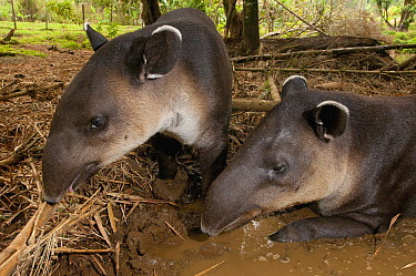Baird's Tapir (Tapirus bairdii) pair feeding and wallowing in mud, native to Central and South America  -  Roland Seitre