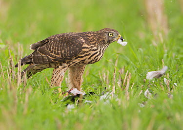 Northern Goshawk (Accipiter gentilis) juvenile feeding on Common Wood-pigeon (Columba palumbus) prey, Noord-Brabant, Netherlands  -  Marc Gottenbos/ NIS