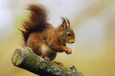 Eurasian Red Squirrel (Sciurus vulgaris), Overijssel, Netherlands  -  Marianne Brouwer/ NIS