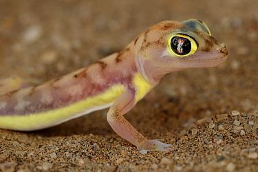 Namib Sand Gecko (Palmatogecko rangei), Namibia  -  Wisse van Heusden/ NIS