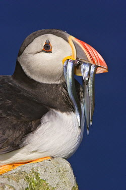 Atlantic Puffin (Fratercula arctica) with Greater Sand Eel (Hyperoplus lanceolatus) prey, Ireland  -  Marijn Heuts/ NiS
