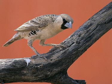 Sociable Weaver (Philetairus socius), Sossusvlei, Namibia  -  Alexander  Koenders/ NiS