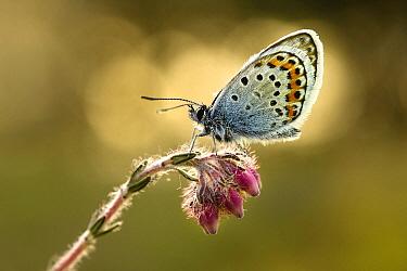 Silver-studded Blue (Plebejus argus) butterfly, Overijssel, Netherlands  -  Marianne Brouwer/ NIS