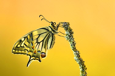 Oldworld Swallowtail (Papilio machaon) butterfly, Limburg, Netherlands  -  Marianne Brouwer/ NIS