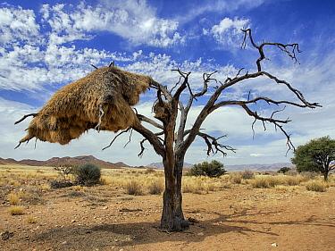 Sociable Weaver (Philetairus socius) nest, Namib Desert, Namibia  -  Alexander  Koenders/ NiS