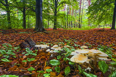Porcelain Mushroom (Oudemansiella mucida) group in forest, Noord-Holland, Netherlands  -  Mart Smit/ NIS