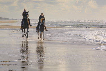 Domestic Horse (Equus caballus) pair with riders on beach, Noord-Holland, Netherlands  -  Mart Smit/ NIS