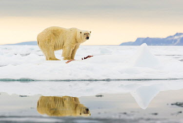 Polar Bear (Ursus maritimus) next to prey on drift ice, Svalbard, Norway  -  Peer von Wahl/ NIS