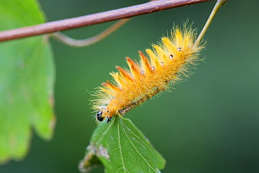 Sycamore Moth (Acronicta aceris) caterpillar on Field Maple (Acer campestre), Noord-Holland, Netherlands  -  Mart Smit/ NIS