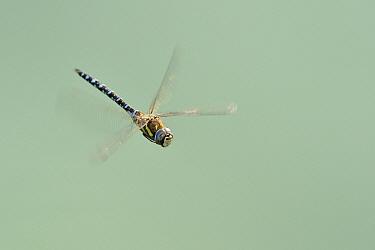 Migrant Hawker (Aeshna mixta) flying, Noord-Holland, Netherlands  -  Andre Gilden/ NIS