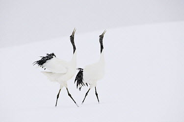 Red-crowned Crane (Grus japonensis) pair courting, Hokkaido, Japan  -  Andre Gilden/ NIS
