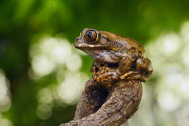 Peacock Tree Frog (Leptopelis vermiculatus), Zuid-Holland, Netherlands  -  Marianne Brouwer/ NIS