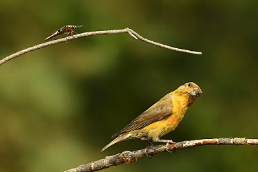Red Crossbill (Loxia curvirostra) looking at Common Darter (Sympetrum striolatum), Overijssel, Netherlands  -  Marianne Brouwer/ NIS