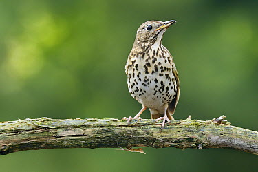 Song Thrush (Turdus philomelos) juvenile, Overijssel, Netherlands  -  Marianne Brouwer/ NIS
