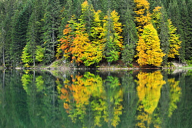 Forest reflected in lake in autumn, Haute Savoie, France  -  Andre Gilden/ NIS