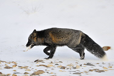 Red Fox (Vulpes vulpes) melanistic individual, also called a Silver Fox, with starfish prey, Churchill, Manitoba, Canada  -  Andre Gilden/ NIS