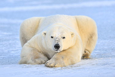 Polar Bear (Ursus maritimus) on pack ice, Churchill, Manitoba, Canada  -  Andre Gilden/ NIS