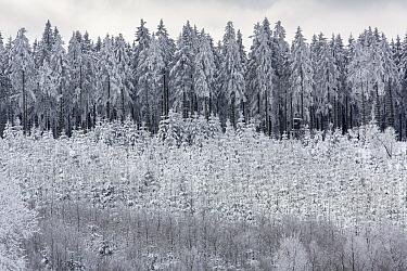 Pine (Pinus sp) trees with hunting blind in winter, Liege, Belgium  -  Marijn Heuts/ NiS