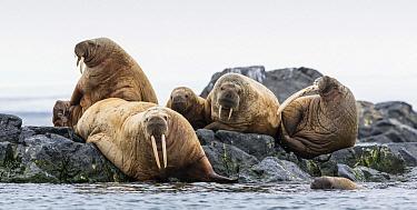 Atlantic Walrus (Odobenus rosmarus rosmarus) group on island, Svalbard, Norway  -  Peer von Wahl/ NIS