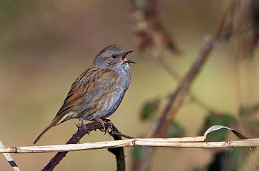 Dunnock (Prunella modularis) calling, Netherlands  -  Birdphoto/ NIS
